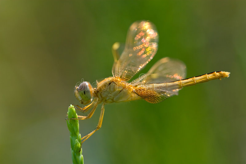 Libellule avec les ailes shinning photos stock