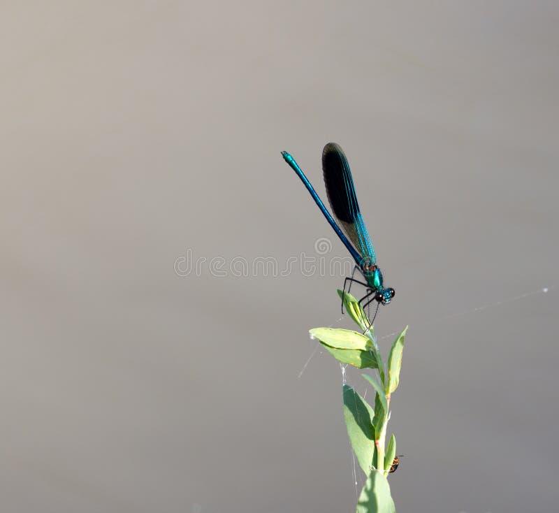 Libellule bleue en nature Macro images stock