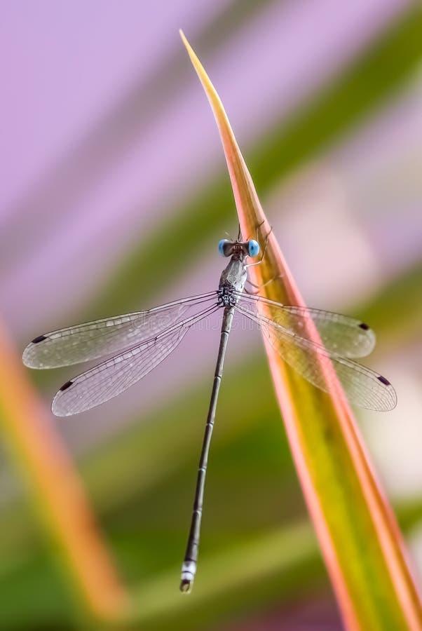 Libellule bleue sautant ses yeux photo libre de droits