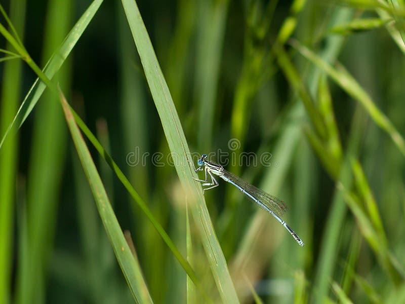 Libellule bleue se reposant sur l'herbe images stock