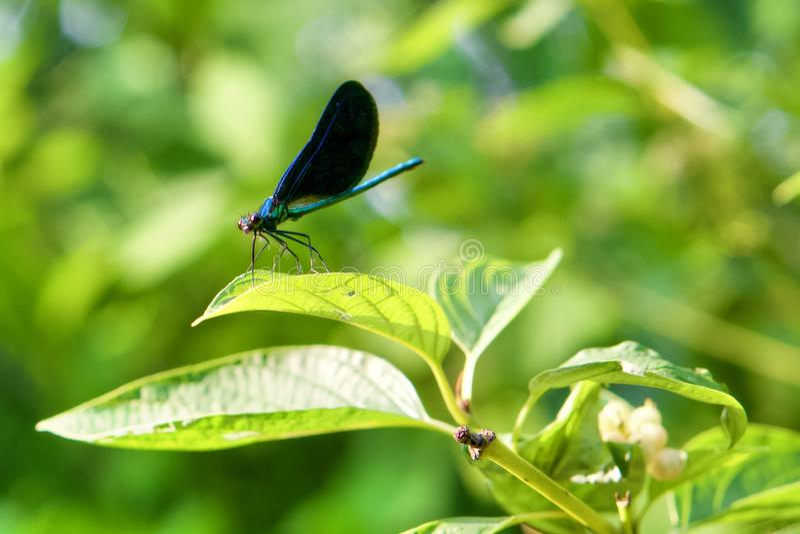 Libellule bleue sur la lame verte photos stock