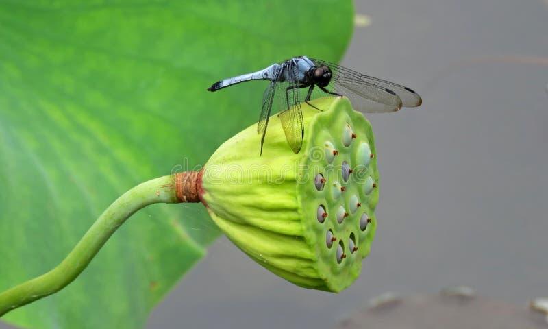 Libellule bleue sur le timbre de fleur de Lotus photographie stock