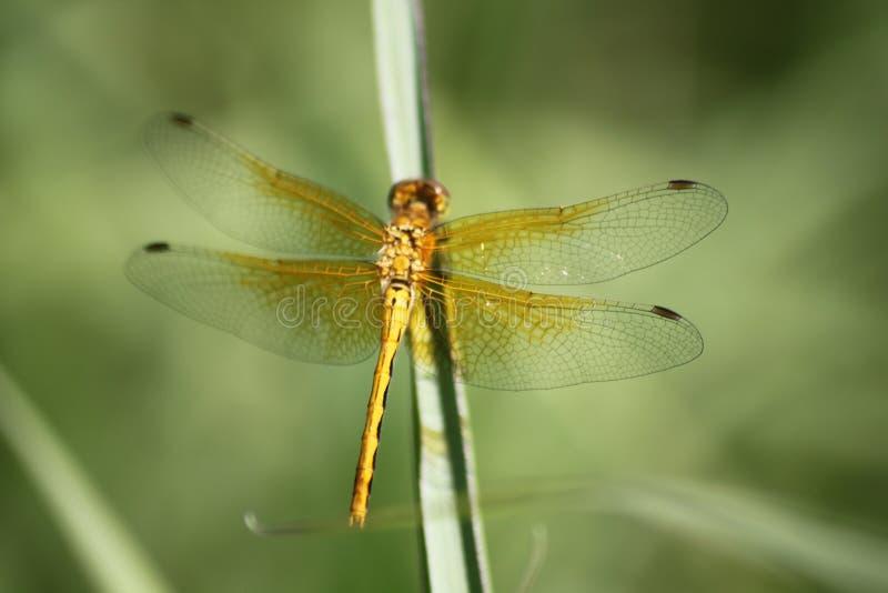 Libellule d'or sur la lame de l'herbe, Brandon Riverbank Discovery Center photo stock
