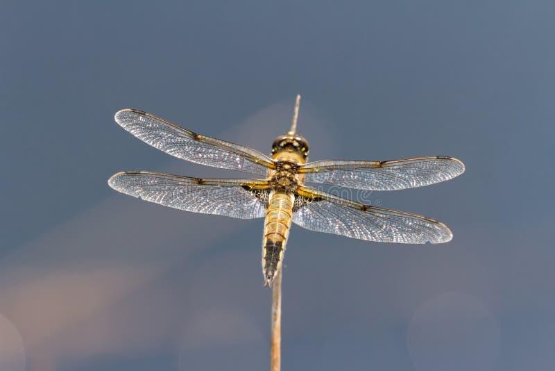 Libellule de chasseur repérée par quatre photo libre de droits