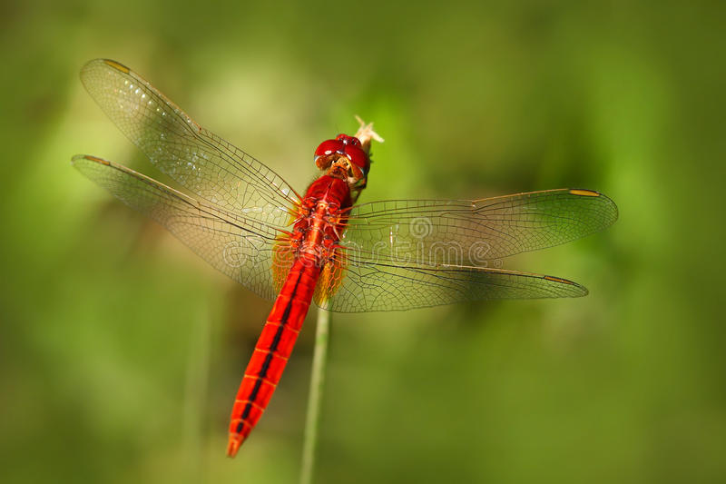 Libellule de Sri Lanka Écarlate orientale, servilia de Crocothemis, se reposant sur les feuilles vertes Belle mouche de dragon da photographie stock libre de droits
