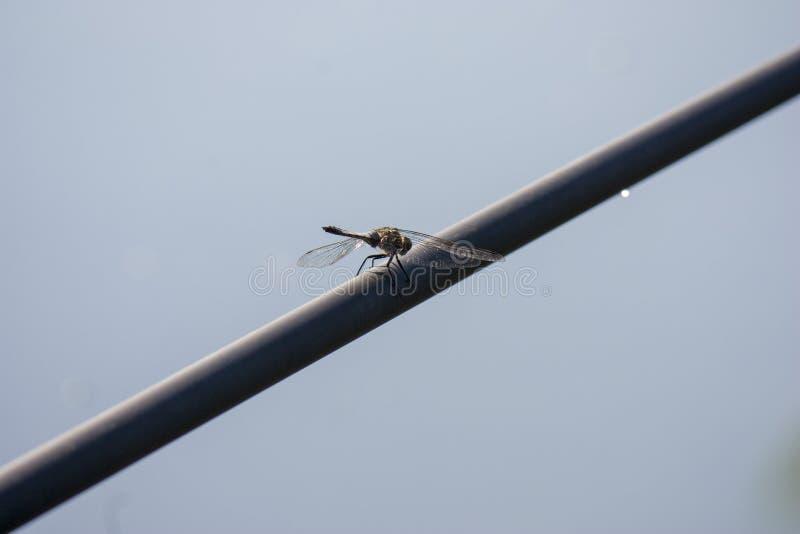 Libellule en nature Plan rapproché de libellule dans son habitat naturel Belle sc?ne de nature de vintage avec la libellule ext?r images stock