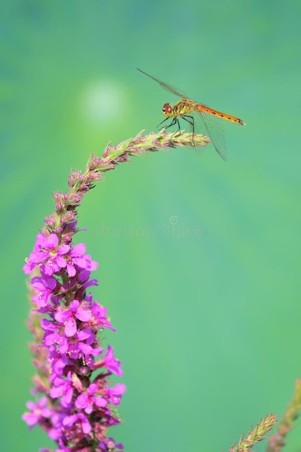 libellule et inflorescence photographie stock libre de droits