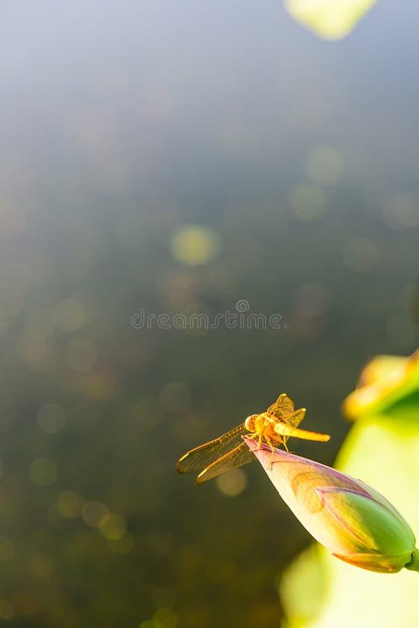 libellule et le bourgeon de lotus photos stock