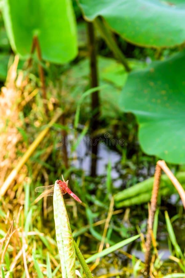 libellule et le bourgeon de lotus images libres de droits