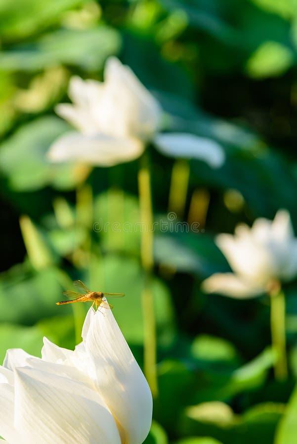libellule et le lotus image stock