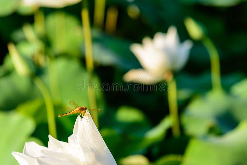 libellule et le lotus photographie stock
