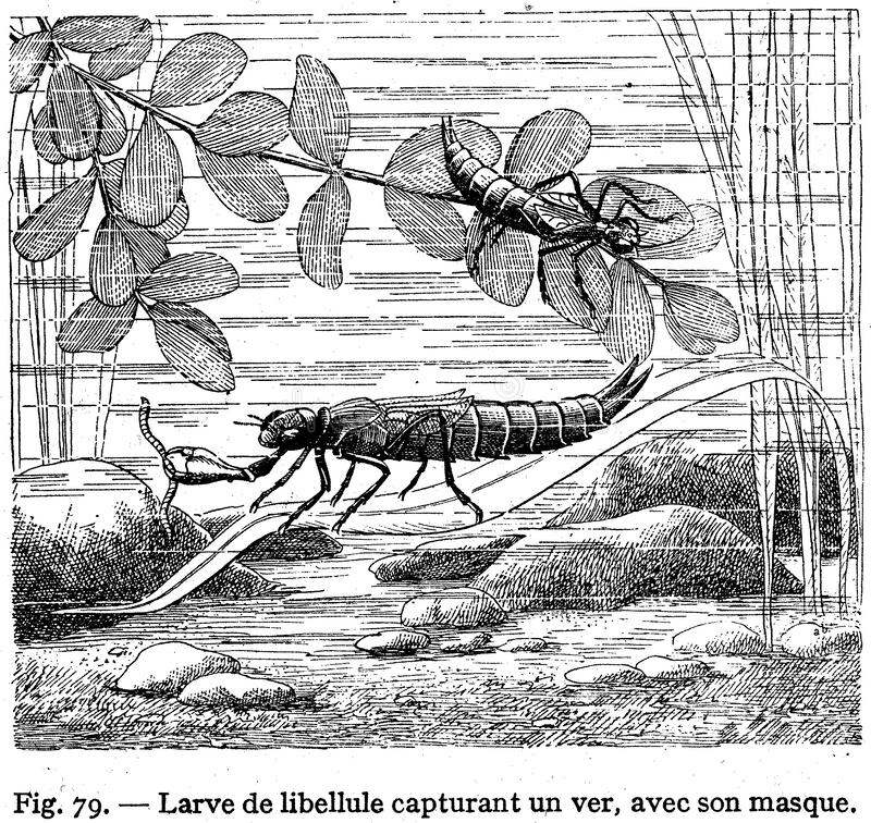 Libellule Larve -2 Ελεύθερο Δημόσιο Τομέα Cc0 Εικόνα