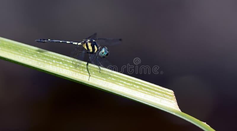Libellule, libellules de platyptera de la Thaïlande Tetrathemis image stock