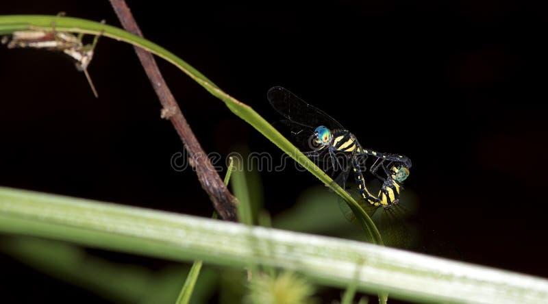 Libellule, libellules de platyptera de la Thaïlande Tetrathemis photo libre de droits