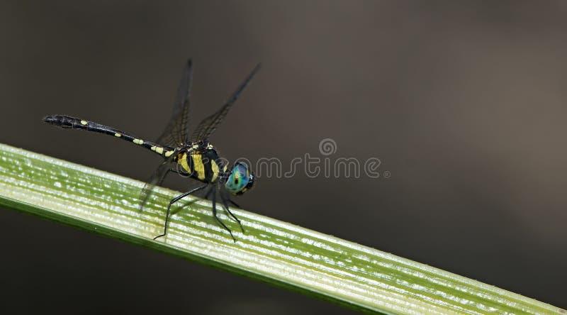 Libellule, libellules de platyptera de la Thaïlande Tetrathemis photos stock
