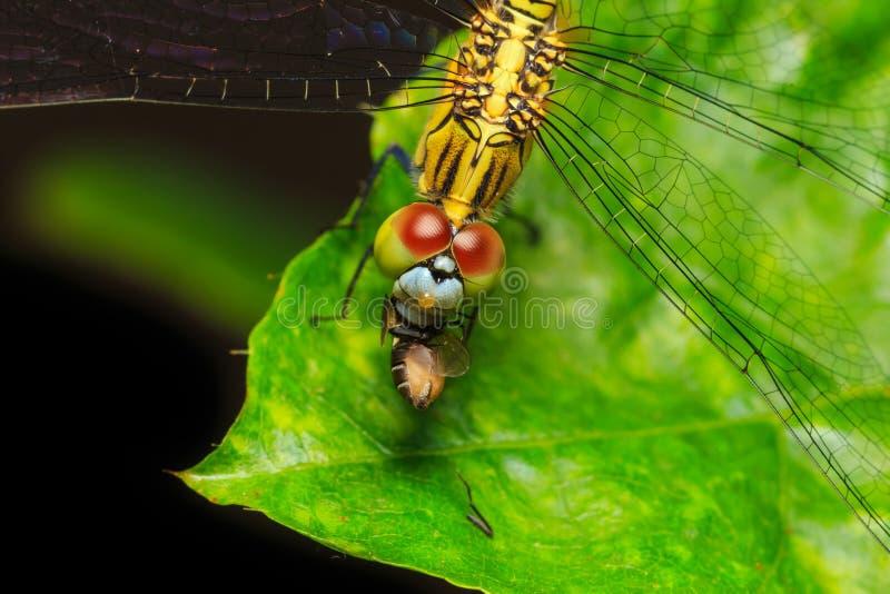 Libellule mangeant la mouche sur la feuille verte images stock