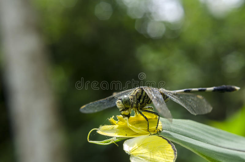 Libellule mangeant une mouche photographie stock libre de droits