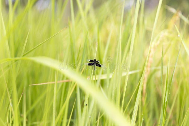 Libellule noire accrochant sur la feuille de riz de jasmin image libre de droits