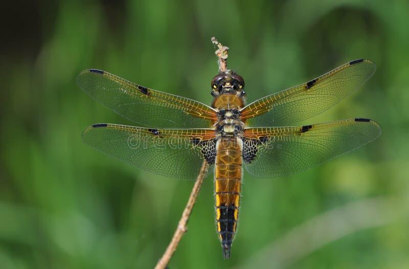 libellule Quatre-repérée de chasseur photographie stock libre de droits