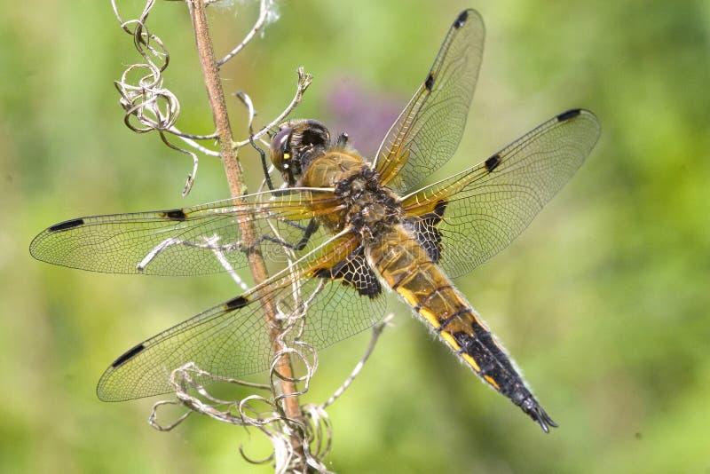 libellule Quatre-repérée de chasseur images stock