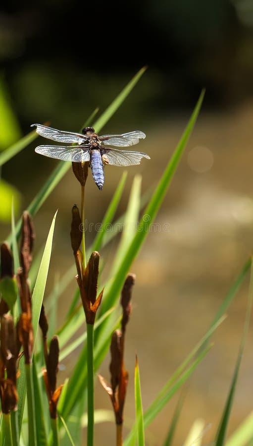 Libellule rare masculine de chasseur, se reposant sur un iris images libres de droits