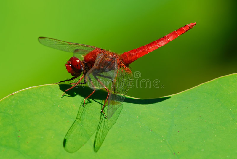 Libellule rouge images stock