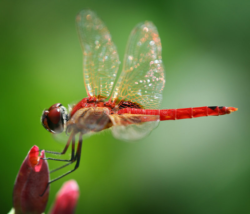 Libellule rouge photographie stock