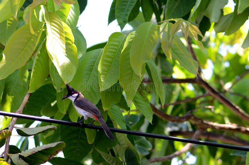 libellule Rouge-barbue de prise d'oiseau de bulbul dans la bouche dans le jardin photos libres de droits