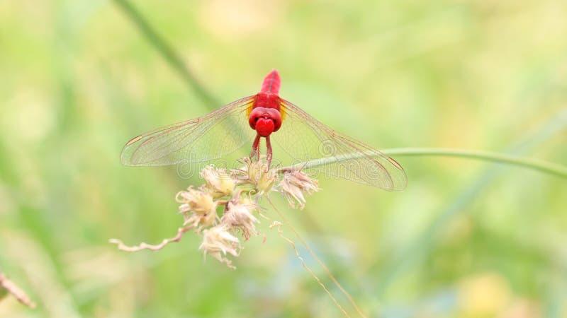 Libellule rouge sur l'herbe de bavures image libre de droits