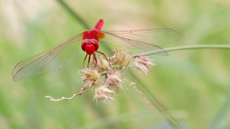 Libellule rouge sur l'herbe de bavures photographie stock