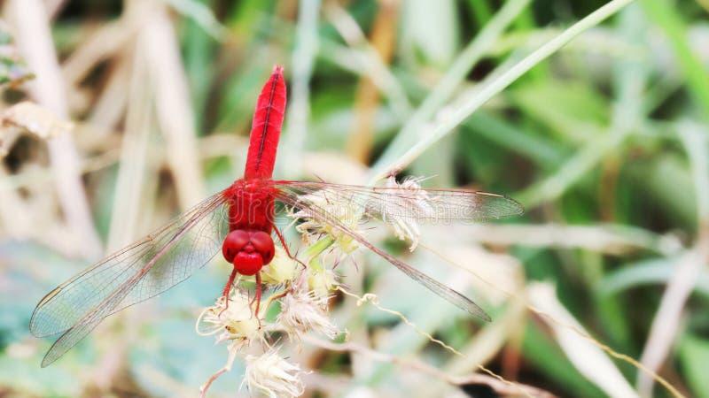 Libellule rouge sur l'herbe de bavures images libres de droits