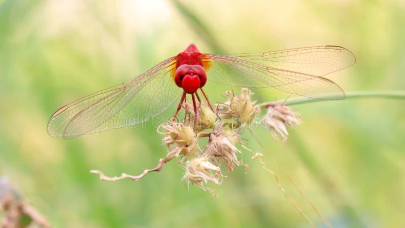 Libellule rouge sur l'herbe de bavures photos stock