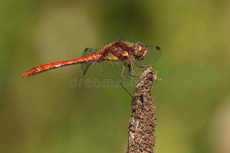 Libellule rouge sur Reed images stock
