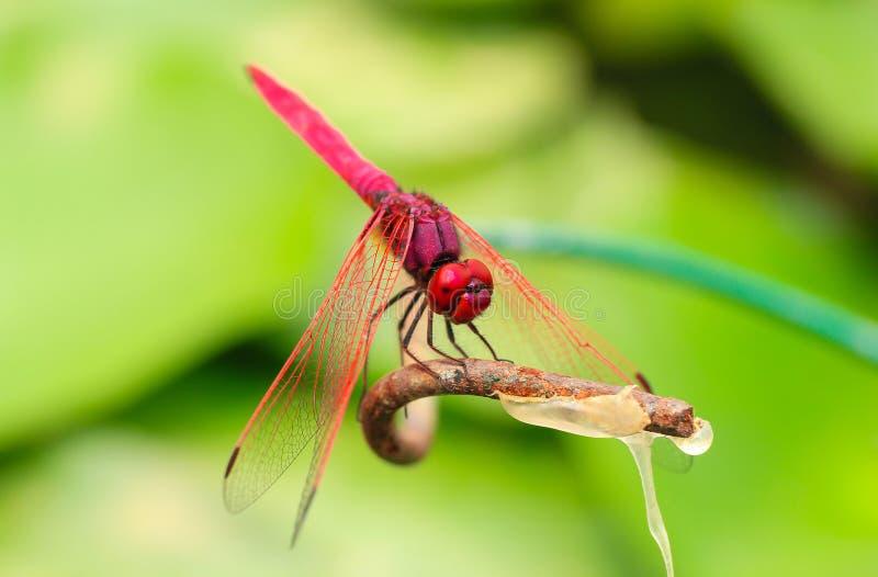 Libellule rouge sur une branche avec un fond vert image stock