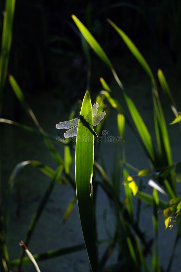 Libellule se reposant au roseau avec le fond de lac photographie stock
