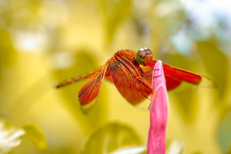 Libellule se reposant sur le bourgeon du ` s de fleur photos libres de droits