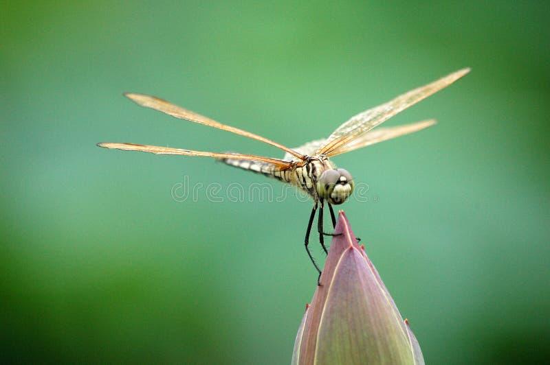 Libellule sur le bourgeon de lotus photos stock