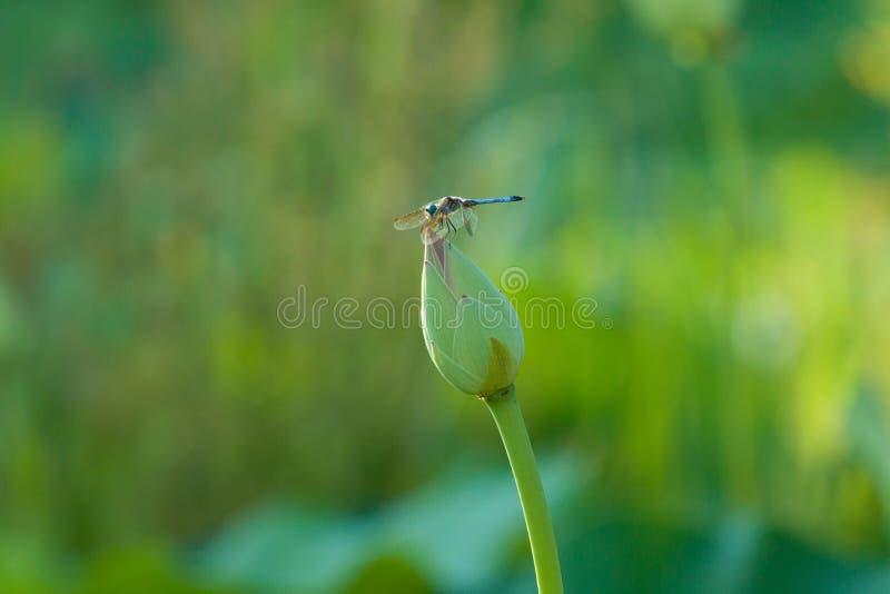 Libellule sur le bourgeon de Lotus avec le fond vert photo libre de droits