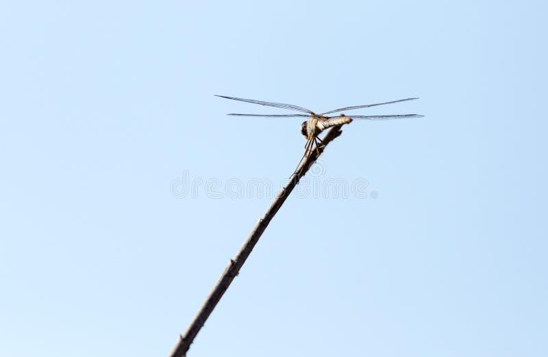 Libellule sur un bâton dehors photo stock