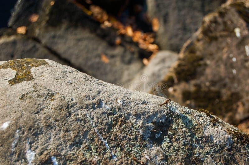 Libellule sur une roche photos libres de droits