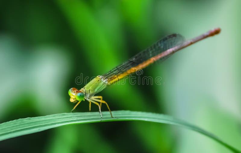 Libellule verte étée perché sur la feuille photo libre de droits