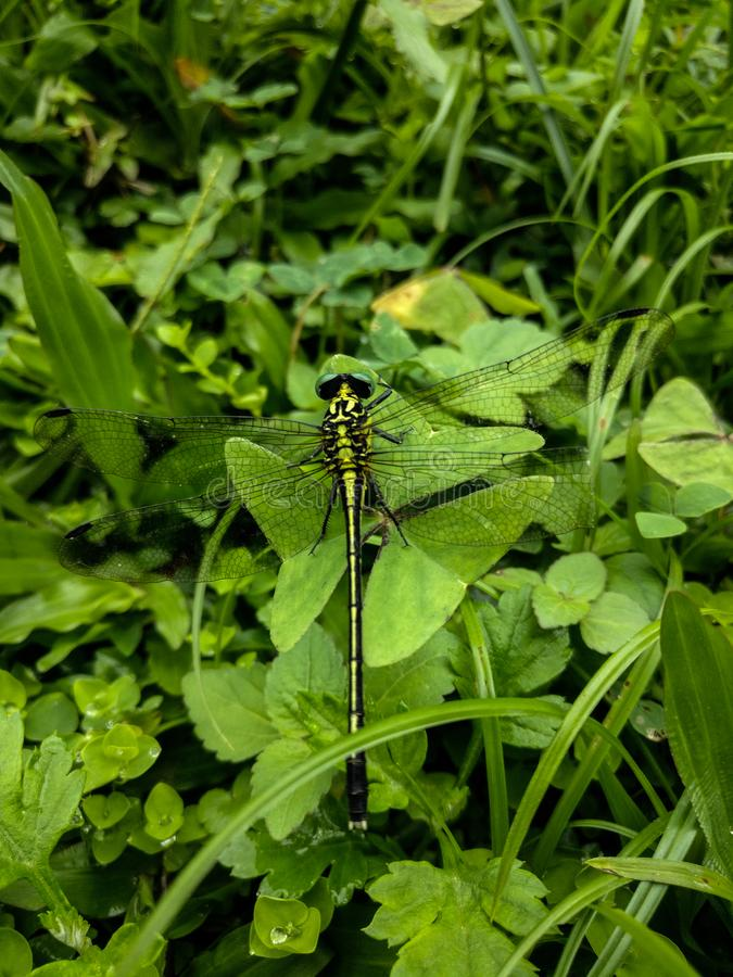 Libellule verte Camouflage en nature photographie stock