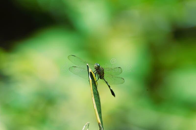 Libellule verte de camouflage noir étée perché sur un sac photo libre de droits