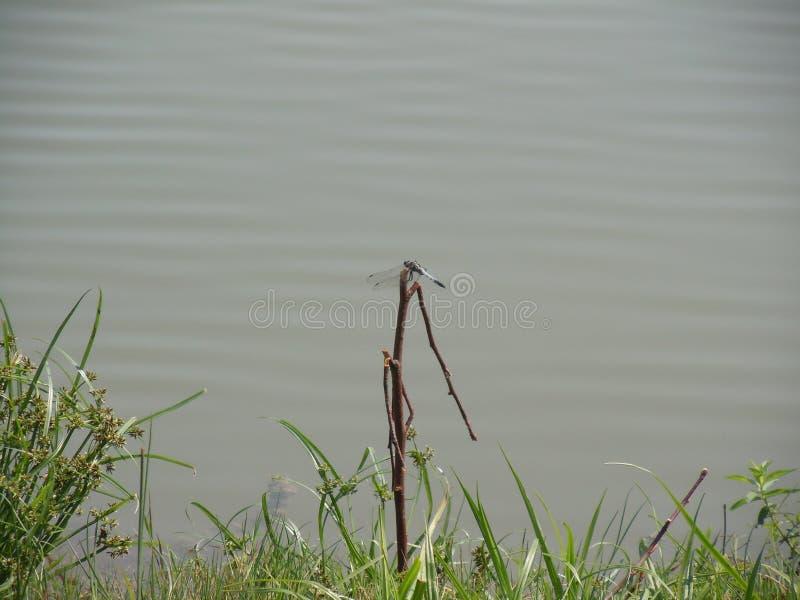 Libelula obsiadanie na nabrzeżu ilustracji