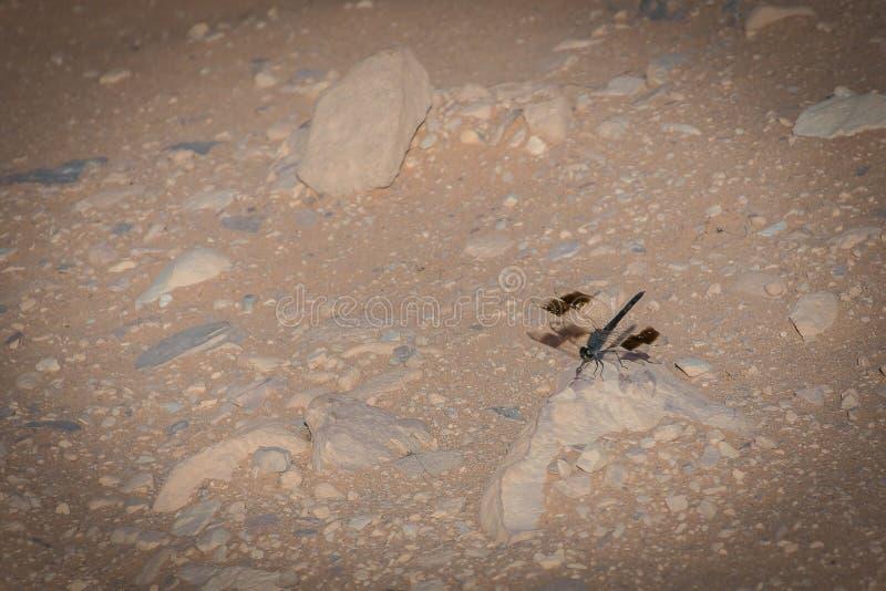 Libelula sur le plancher du désert photo libre de droits