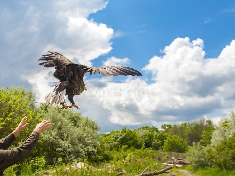 Liberando uma águia branco-atada (albicilla do Haliaeetus) foto de stock