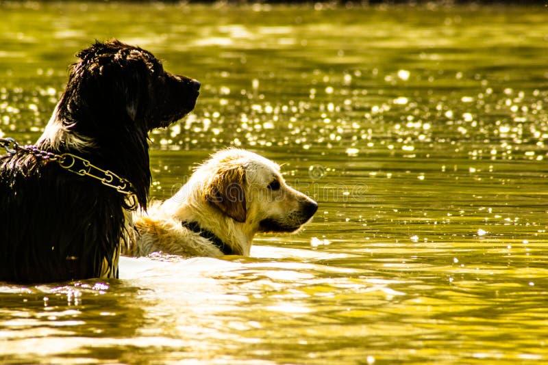 Liberdade líquida - a competição de cães preto e branco fotografia de stock