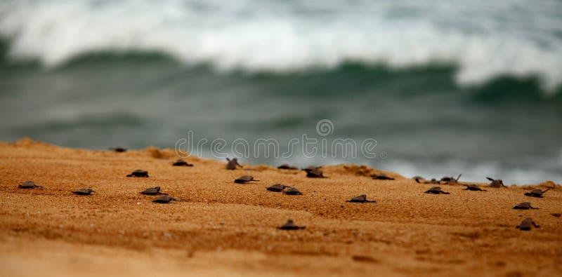 Libertação da Tartaruga foto de stock