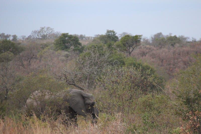 Libertad de elefante masculino africano del colmillo largo de la vida imagenes de archivo