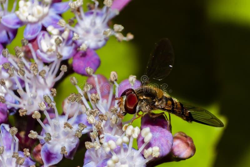 Librazione/mosca del fiore immagine stock libera da diritti
